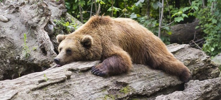 Picture of a bear being lazy.