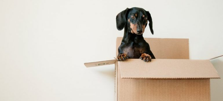 A dog in a moving box.