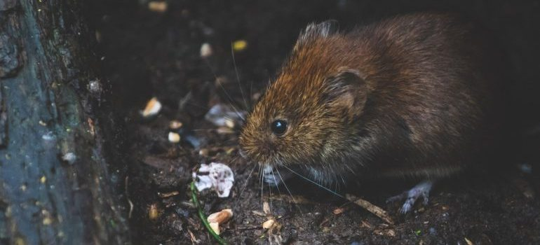 a brown mouse standing on the ground and eating