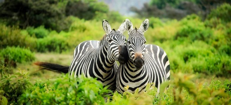 Two Zebras in nature